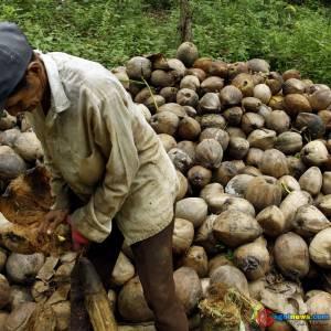 Petani Buah kelapa